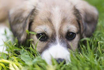 Puppy laying in grass.