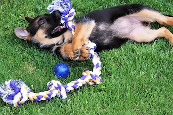 German Shepherd puppy laying on grass with large rope toy and ball.