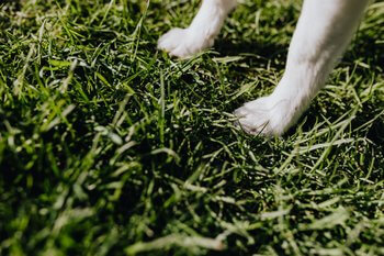 Light coloured dog's two front paws shown standing on grass.