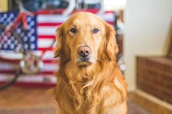 Golden Retriever sitting, with an American Flag in the background.