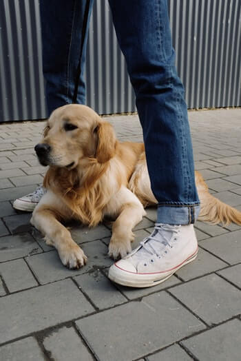 Golden Retriever laying between its owners legs.
