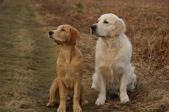 English Retriever vs Golden Retriever - Cream coloured Golden Retriever sitting next to a dark red Golden Retriever.