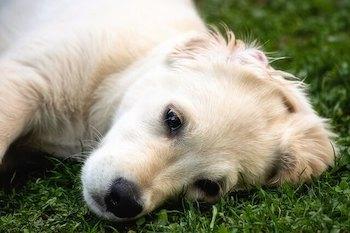 Golden Retriever puppy rolling on the grass.