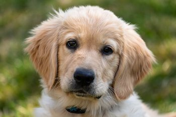 Golden Retriever Ear Care - Golden Retriever puppy looking at you.
