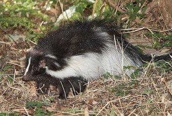 Skunk in a grassy area.
