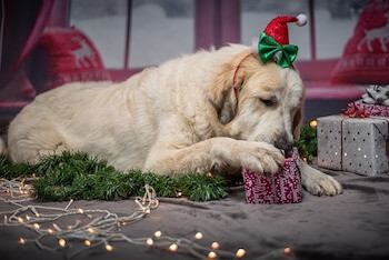 Christmas Gifts For Dog Moms - A Golden Retriever wearing a Christmas headband laying on the floor with his paw on a Christmas present.