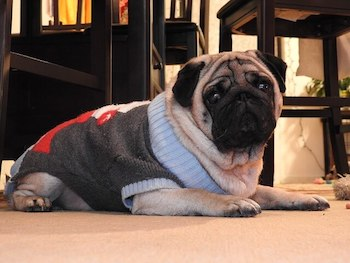 Pug wearing a blue and grey knitted Christmas sweater.