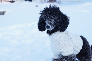 Black poodle wearing a white knitted sweater outside in the snow.