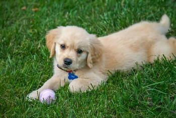 Golden Retriever puppy laying on grass with a purple tennis ball.