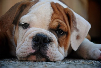 Do Dogs Show Grief - Bulldog puppy looking sad lying on the floor.