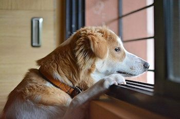 Brown and white dog looking out the window waiting for his friend to return.