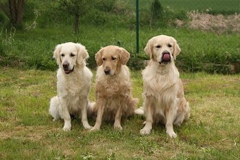 3 Adult Golden Retrievers sitting beside each other on a field of grass.