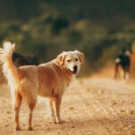 What Is A Healthy Weight For A Golden Retriever?