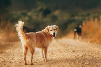 What Is A Healthy Weight For A Golden Retriever - Side profile of a Golden Retriever standing on a dirt road.