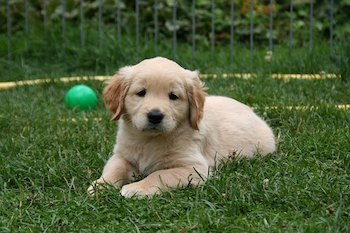 Golden Retriever puppy laying in a field of grass, with a green ball in the background.