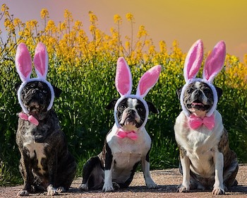Easter Outfits For Dogs- 3 Boxer dogs wearing pink bow ties and pink bunny ears.