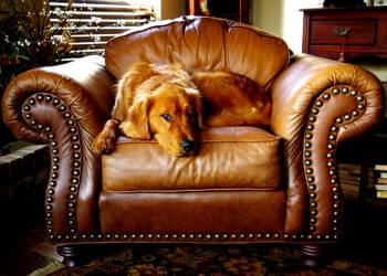 Golden Retriever laying on a brown leather chair.