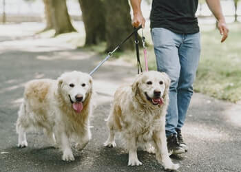 A man walking two English Golden Retrievers on a leash.