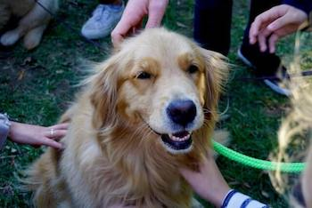 Four human hands reaching out to pet a Golden Retriever who is sitting in the middle looking happy.