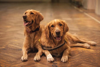 Two Golden Retrievers laying on a wooden floor together.