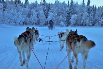 Mushers Secret For Dogs - Sled dogs being led by a dog musher.