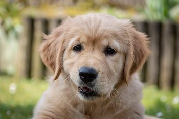 Stop Golden Retriever Puppy Biting - Golden Retriever puppy shown with its mouth slightly open.