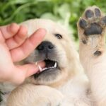 Stop Golden Retriever Puppy Biting [10 Tips]