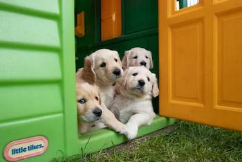 Four Golden Retriever puppies looking out of the door of a green Little Tikes playhouse.