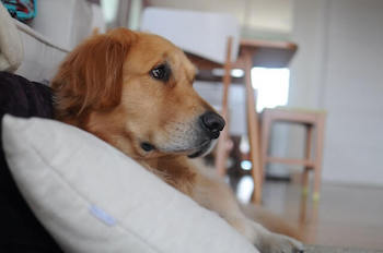 Do Dog ThunderShirts Work - Golden Retriever laying on the floor, resting on a white pillow.