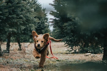 Golden Retriever puppy running with a loose red leash attached.