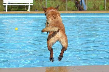 Best Dog Pool For Large Dogs - A large brown dog jumping into a swimming pool.