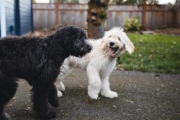 A black and white Goldendoodle walking together.
