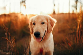 Golden Retriever vs Goldendoodle - Close up of a Golden Retriever looking happy standing outside with the sunset in the background.