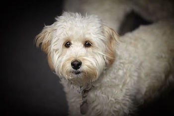 Golden Retriever vs Goldendoodle - Close up of a white Goldendoodle standing looking at you.