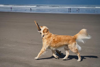 Golden Retriever walking on a beach while carrying a huge stick.