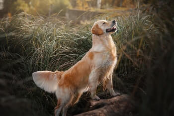 Side profile of a Golden Retriever striking a pose with his head in the air.