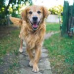 What Are Golden Retrievers Good At? [13 Not So Obvious Things]