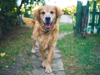 What Are Golden Retrievers Good At - Older Golden Retriever walking towards you with a happy expression.
