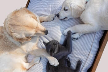 Adult Golden Retriever and Golden Retriever puppy laying on a pillow together along with a black cat.