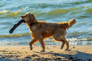 What Are Golden Retrievers Good At-Wet Golden Retriever walking along the beach carrying a large stick.