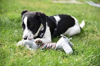 Best Teething Toys For Puppies - Brown and white puppy laying in the grass chewing on a toy.