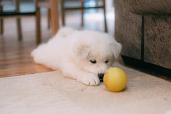 Golden Retriever puppy laying on the floor looking at a yellow ball in front of him.