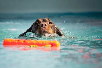 Canine Water Toys - Brown dog in the water swimming towards a bright orange water toy.