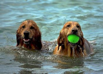 Canine Water Toys - 2 Golden Retrievers in the water, one has a neon green ball in its mouth.