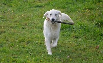 Golden Retriever walking through a field of grass carrying a large stick.