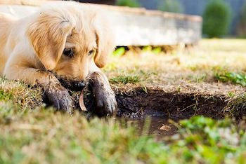Golden Retriever with muddy front paws looking into a mud puddle.
