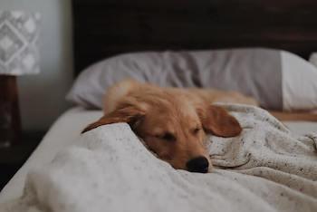 What Golden Retrievers Need-Golden Retriever sleeping on a human bed.