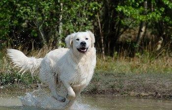 Golden Retriever running through a puddle.