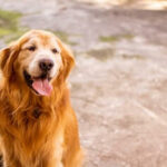 Adopting A Senior Golden Retriever [10 Amazing Reasons To Consider]