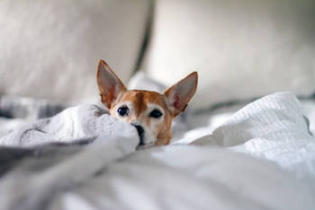Waterproof Blankets For Dogs - A small dog laying on a bed surrounded by a white blanket.